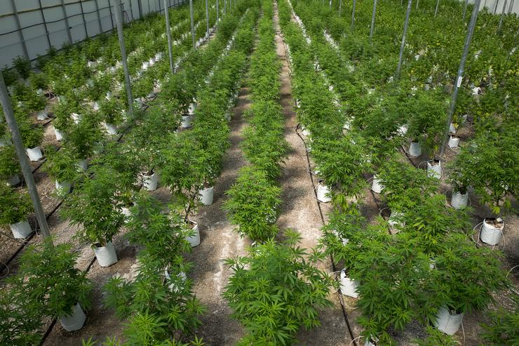 Rows of cannabis plants grow in the twenty thousand square foot greenhouse at Vireo Health's medical marijuana cultivation facility, August 19, 2016 in Johnstown, New York. New York state lawmakers voted to legalize marijuana for medical use in 2014 and the law took effect in January 2016. Currently, five organizations are allowed to grow and sell the drug for medical use in the state. New York's new law only allows people with 'severe debilitating or life threatening conditions' to obtain marijuana for medical use.